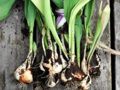 Нужно ли выкапывать луковицы тюльпанов на зиму?