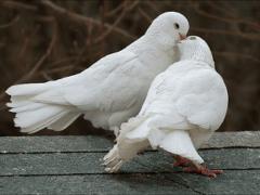 Что обозначает голубь во сне?