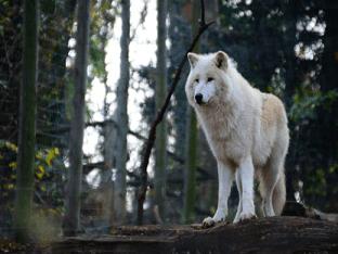 Что обозначают волки во сне?