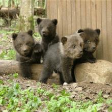 Сонник медвежата к чему снится медвежата во сне