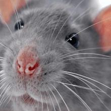 Видеть во сне крысу — к чему это?