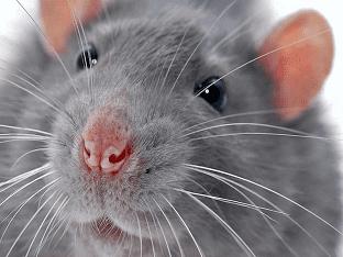 Видеть во сне крысу - к чему это?