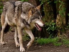Если приснился волк, узнать значение сна