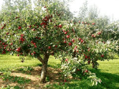 Характеристика и описание яблони «Слава победителям»