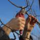 Как обрезать грушу осенью?
