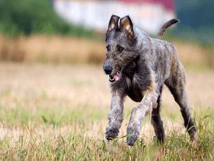 Как ухаживать за Ирландским волкодавом?