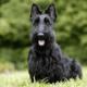 Как ухаживать за собаками породы скотч — терьер?