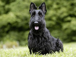 Как ухаживать за собаками породы скотч - терьер?