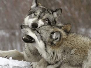 Приснился волк, к чему снятся волк, узнать значение сна