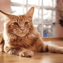 Рыжий Мейн-кун: порода кошек, описание, особенности характера, размеры, чем кормить, как ухаживать, цена котят в питомнике