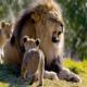 Толкование сна: к чему снится лев?