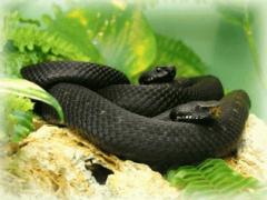 Змея: увидеть во сне змею, сонник