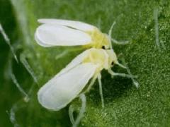 Белокрылка – борьба с вредителем. Как избавиться от белокрылки?