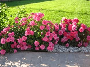 Бордюрная роза: посадка и уход, секреты садоводов
