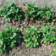 Чем обработать клубнику весной от болезней и вредителей?