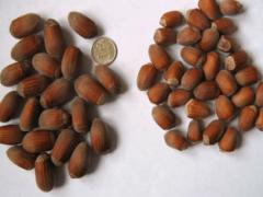Чем отличается лесной орех от фундука?