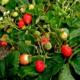 Что представляет собой ремонтантная клубника и как её выращивать?