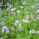 Фацелия как сидерат: когда и как сеять, как применять