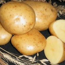 Гала: как вырастить популярный сорт картофеля?