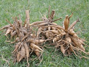Георгины: уборка и хранение клубней