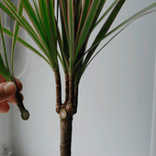 Как посадить и вырастить драцену в домашних условиях?