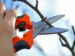 Как правильно делать обрезку абрикоса осенью?