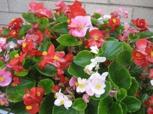 Как правильно выращивать бегонию вечноцветущую?