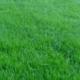 Как сеять и ухаживать за мятликом луговым?