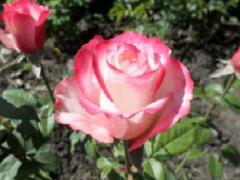 Как вырастить розу Свитнесс — способы и особенности