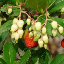 Как вырастить земляничное дерево в домашних условиях