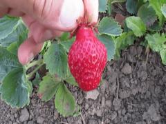Клубника «Зенга Зенгана»: описание и выращивание