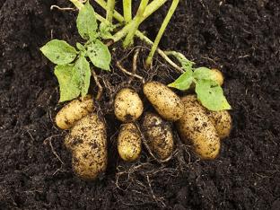 Консервативные и оригинальные методы посадки картофеля