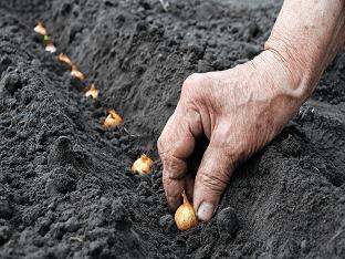 Лук под зиму: преимущества и особенности посадки