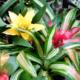 Можно ли держать дома гусманию: для чего нужна, что значит как символ, плохо или хорошо заводить это растение?