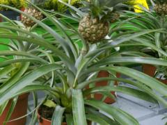 Можно ли вырастить ананас