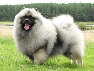 Описание породы собак большой шпиц (гроссшпиц, немецкий шпиц)