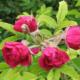 Особенности выращивания розы (шиповник) морщинистой, посадка и уход в саду