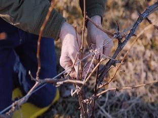 Подготовка винограда к зиме: как обрезать и укрыть виноград правильно