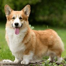 Порода собак вельш-корги — сильный, умный, энергичный друг