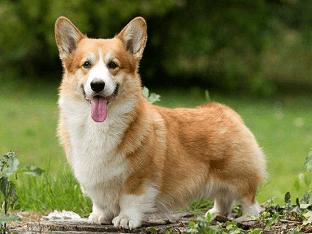 Порода собак вельш-корги - сильный, умный, энергичный друг