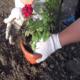 Посадка и уход за розами в открытом грунте для новичков