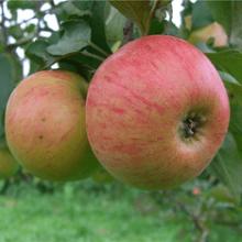 Посадка и уход за яблоней сорта Медуница