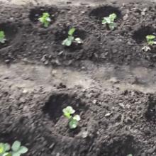 Правила посадки, способы и секреты как сажать клубнику