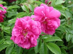 Роза морщинистая ругоза: описание, посадка и уход
