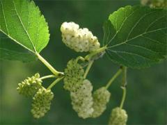 Шелковица белая: как посадить и ухаживать на дачном участке