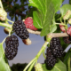 Шелковица: выращивание и уход, посадка и обрезка, виды и сорта, болезни и вредители