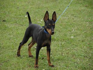Собака породы той-терьер: уход и содержание