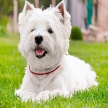 Собаки и щенки породы Вест хайленд вайт терьер — о породе животных