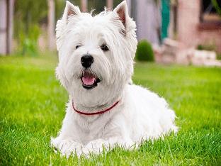 Собаки и щенки породы Вест хайленд вайт терьер - о породе животных