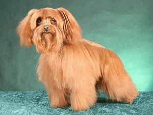 Всё о породе собаки петербургская орхидея - содержание, уход и прочие особенности